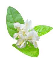 Huile essentielle Gingembre papillon Aroma-Zone