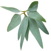 Huile essentielle Eucalyptus staigeriana BIO Aroma-Zone