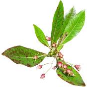 Huile essentielle Bois de Rose BIO Aroma-Zone