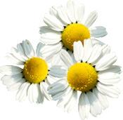 Aceite esencial de manzanilla alemana Aroma-Zone (o Matricaria)