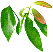 Huile essentielle Cannelle de Chine BIO Aroma-Zone