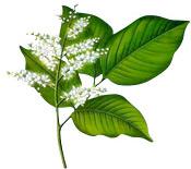 Baume Copahu Aroma-Zone