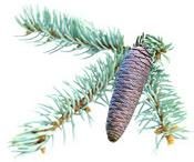 Huile essentielle Epinette bleue BIO Aroma-Zone