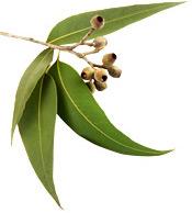 Eucalyptus globulus aceite esencial BIO Aroma-Zone