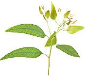 Huile essentielle Eucalyptus mentholé BIO Aroma-Zone