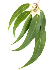 Huile essentielle Eucalyptus radié BIO Aroma-Zone