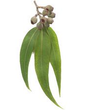 Huile essentielle Eucalyptus smithii BIO Aroma-Zone