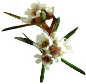 Huile essentielle Fragonia Aroma-Zone