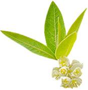 Huile essentielle Litsée citronnée BIO Aroma-Zone