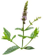 Huile essentielle Menthe verte BIO Aroma-Zone