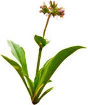 Huile essentielle Nard Jatamansi Aroma-Zone