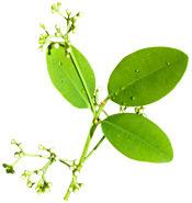 Huile essentielle Ravensara aromatica BIO Aroma-Zone