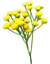 Huile essentielle Tanaisie annuelle BIO (ou Camomille bleue) Aroma-Zone