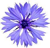 Hydrolat Bleuet BIO Aroma-Zone
