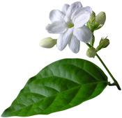 Aroma Zone 12 – Интернет куповина 49 Eau aromatique Jasmin Sambac Aroma-Zone