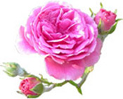 Hydrolat Damascus Rose of M'Gouna Valley BIO Aroma-Zone
