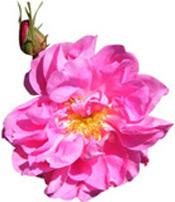 Hydrolat Rose de Mai BIO Aroma-Zone