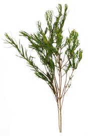 Aroma Zone 8 Huile essentielle Tea Tree (Arbre à Thé) Aroma-Zone