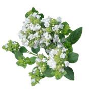 ORGANICO Orégano Verde Aceite Esencial Aroma-Zona